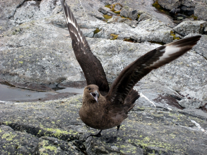 Skuas -  they're big, loud birds with a great sense of humor and a flair for acrobatics.